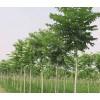 大量供应1-3米速生国槐,速生白蜡,千头椿,速生柳小苗