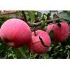 占地葡萄苗 枣树苗 苹果树 山楂树 桃树 梨树 樱桃树
