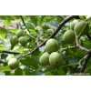供应2-8公分挂果核桃树 苹果树 山楂树
