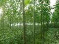 银杏树小苗图片 (11)