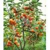 山西苗圃苹果树,柿子树,枣树,梨树,杏树
