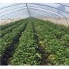 大量出售优质品种草莓苗 章姬草莓苗 甜查理草莓苗 红颜草莓苗
