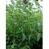 山西枣树苗、批发枣树苗、嫁接枣树苗、枣树苗品种、枣树苗价格