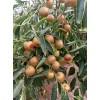 供应枣树苗、枣树实生苗