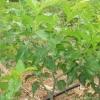 核桃苗30公分以上核桃苗苹果苗 矮化苹果苗 柿子苗 山楂苗
