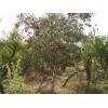 出售大量1-10公分榆树 1-10公分苹果苗 海棠苗