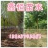 12公分法桐树2年冠2000棵主杆3.5米.冠幅4米