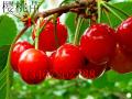 樱桃苗有什么品种,山西哪里有卖樱桃苗,樱桃苗价格