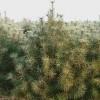 大量供应蓝田1米白皮松大田苗、营养钵苗-蓝田绿多白皮松苗木