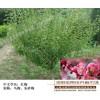 造型红梅低价处理-宏泰花卉苗木