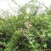 供应南京紫薇等多种绿化苗木