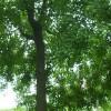 供应南京乌桕等多种绿化苗木