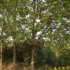 销售南京马褂木等多种绿化苗木