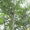 销售南京杜仲等多种绿化苗木