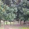 销售南京广玉兰等多种绿化苗木