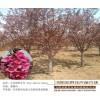 西府海棠低价处理-宏泰花卉苗木