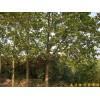 供应南京马褂木等多种绿化苗木