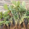 章姬草莓苗,品种纯正的章姬草莓苗,华艳品种草莓苗