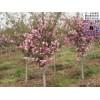 品种海棠树2-6公分海棠树 紫叶矮樱 紫叶李 红叶碧桃 枣树