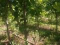 供应2公分以上核桃苗 树 山楂苗树 樱桃苗树 苹果苗树