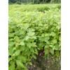 供应檫木一年苗、檫木小苗基地、檫木50-150公分高苗木