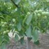 占地核桃苗1公分核桃苗 2公分以上核桃树 樱桃树 苹果树
