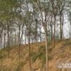 山西国槐树3-8公分什么价格