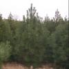 山西瑞丰苗圃供应80-2米白皮松