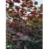 巨紫荆(红叶 青叶)3-8公分  量大