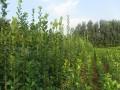 丛生北海道黄杨直销1米-1.5米2米-2.5米北海道黄杨