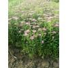 铺地柏、绣线菊、金叶女贞、连翘、迎春、锦带、红叶石楠、